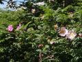 サンショウバラの花