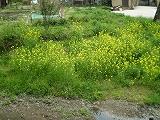 城上神社 菜の花