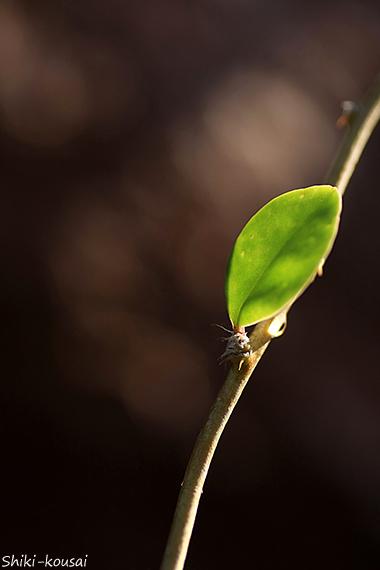 ハナキリンの葉