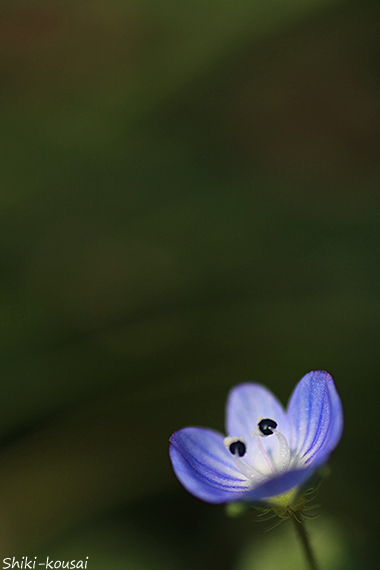 オオイヌフグリ