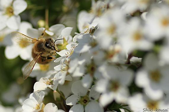 ミツバチ&ユキヤナギ