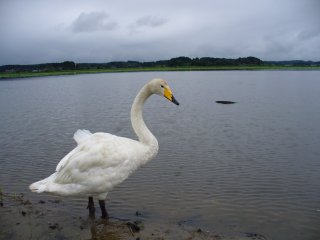 060722寂しい白鳥