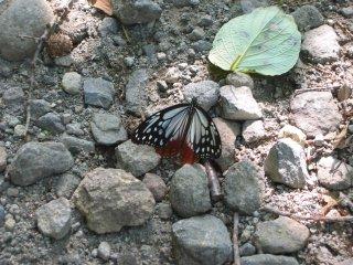 22海を渡る蝶