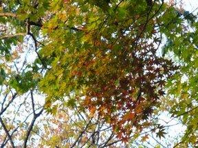 紅葉のドウダンツツジ2