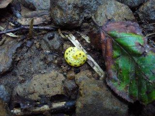 ホシアシブトハバチの幼虫