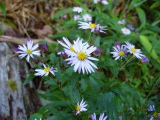 上高地の花