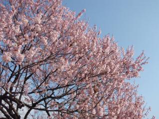 桜とカタクリ1