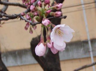 築館の桜も
