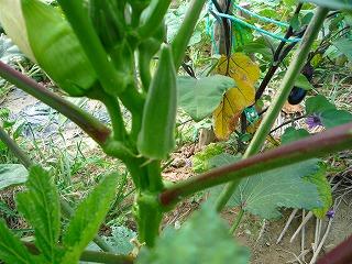 nikoさん家野菜 024