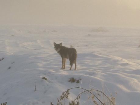 coyote_03