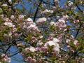 法輪寺桜②