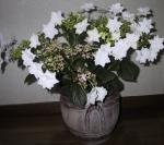 隅田の花火も鉢の衣替え