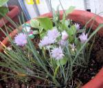 チャイブのお花
