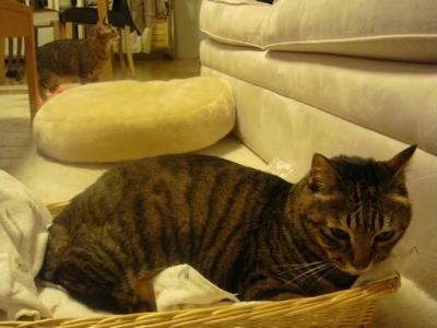 かご猫トラ