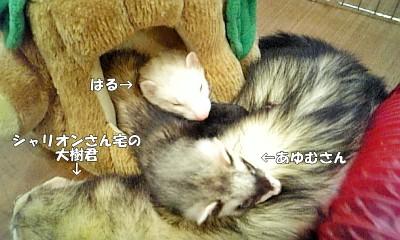 大樹君を枕にしてお休みタイム中のはるとあゆむさん(汗)