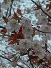 20120421SAKURA1.jpg