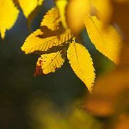 ゆん 黄色ケヤキの葉