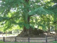 弘前公園の銀杏の木