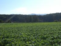 ダイコン畑