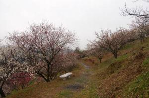 津山市神代梅の里公園梅開花状況
