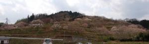 岡山県津山市神代梅の里公園梅開花状況作州津山商工会久米支所