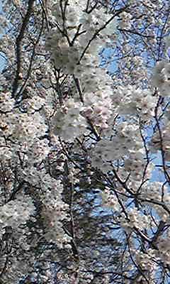 CAVU1F6W桜