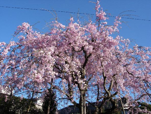 DSCN5697しだれ桜