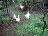 烏骨鶏の自然養鶏1