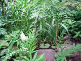 烏骨鶏の自然養鶏2