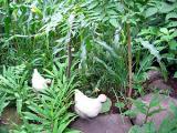 烏骨鶏の自然養鶏3