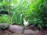 烏骨鶏の自然養鶏4