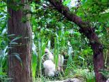 烏骨鶏の自然養鶏5