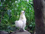烏骨鶏の自然養鶏7