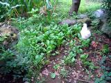 烏骨鶏の自然養鶏10