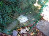 烏骨鶏の自然養鶏11
