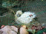 烏骨鶏の自然養鶏12