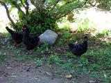 黒烏骨鶏の自然養鶏3