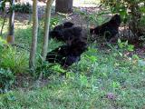 黒烏骨鶏の自然養鶏4