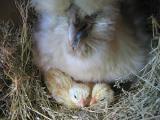 比内鶏の孵化