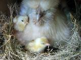 原種比内鶏の雛