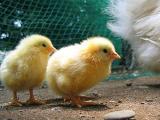 純血種比内鶏の飼育