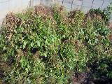 無農薬の自家落花生栽培