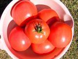 露地トマトの自家無農薬栽培
