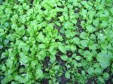小松菜の自家無農薬栽培