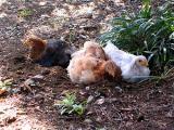 野生の比内鶏