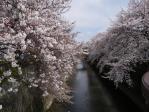 桜2012_1
