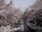 桜2012_2