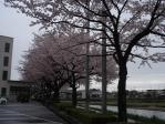 可児市役所のうらの桜並木