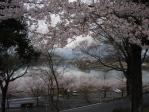 河合公園の木曽川を望む桜