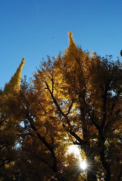 銀杏並木に夕日が落ちて行ってキレイ~